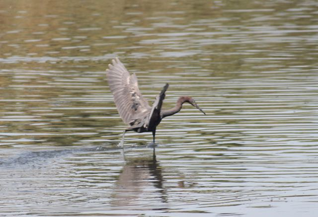 Reddish egret doing its feeding dance.