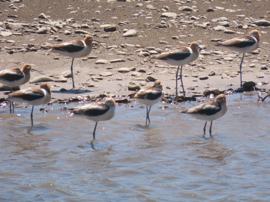 Avocets on the Yellowstone River.