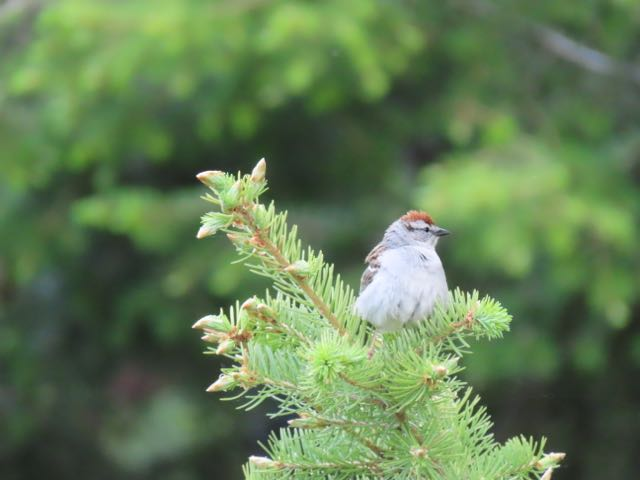 Stay tuned. I got a new camera for my birthday. Chipping sparrow.