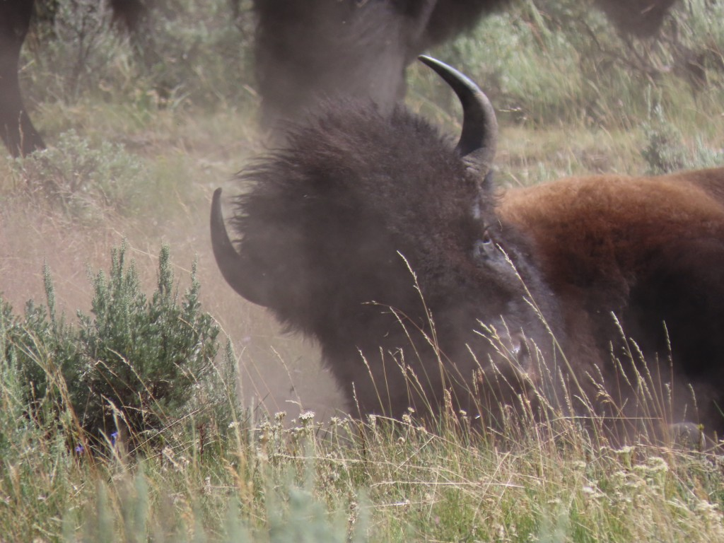Bison bathing in dust.