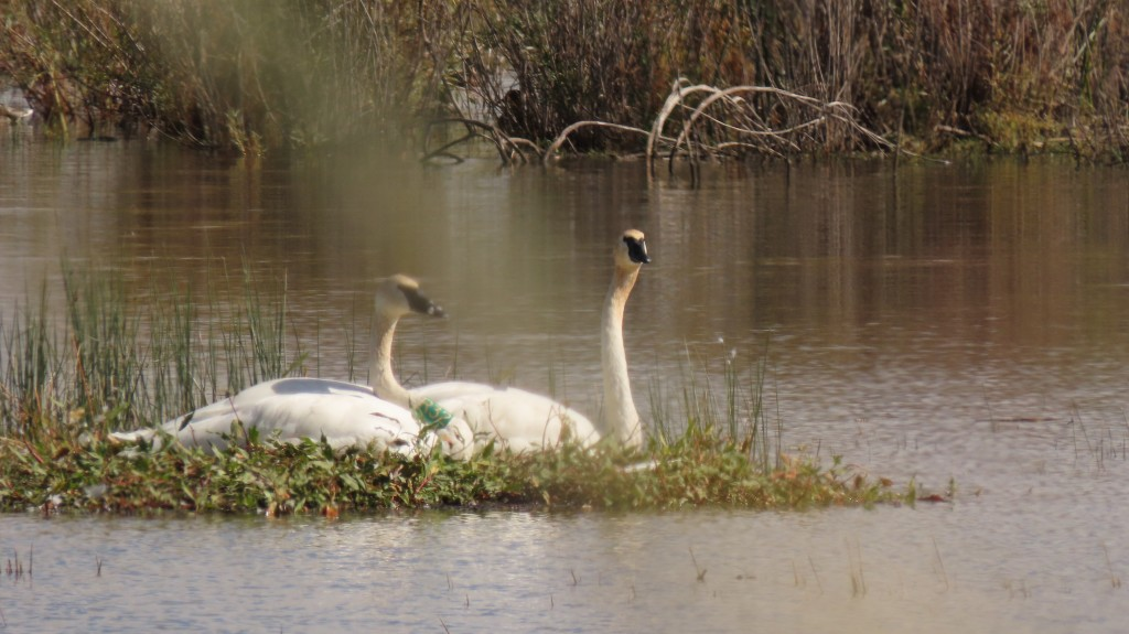 Here's a trump I can get behind. Trumpeter swans. A conservation success story.