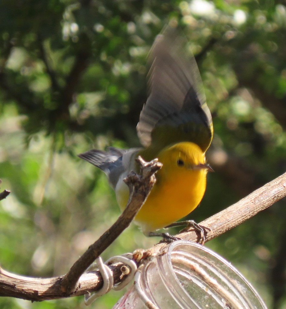 Say Hi to the prothonotary warbler. A lifer.